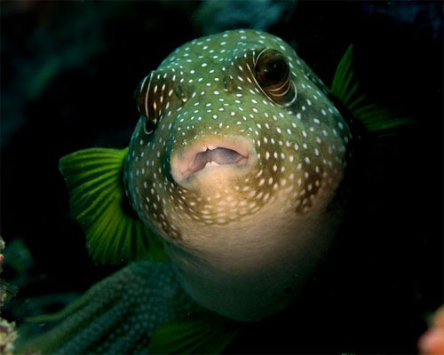 45_adj_DSC3623-pufferfish Wonders of Underwater Photography Examples