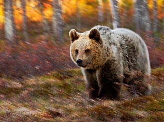 Bear, Finland by Michel Giaccaglia