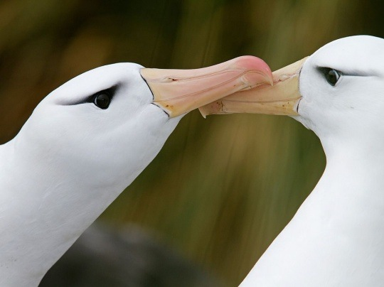 Black-Browed Albatrosses, South Georgia by Marius Coetzee