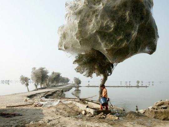 Cocooned Trees, Pakistan by Russell Watkins