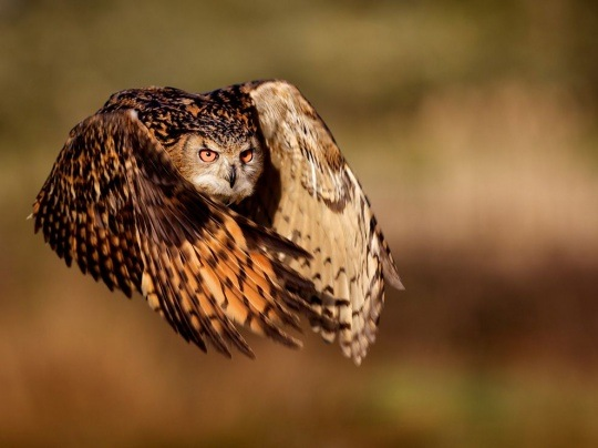 Eagle Owl by Mark Bridger