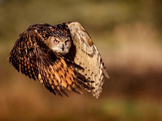 Eagle Owl by Mark Bridger