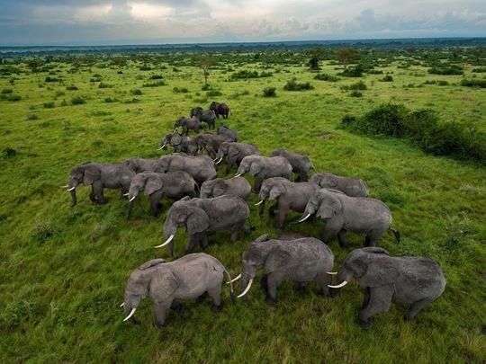 Elephants, Uganda by Joel Sartore