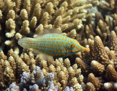Filefish in Fiji Underwater Photography Examples