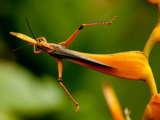 Grasshopper, Honduras by Lisa Armstrong