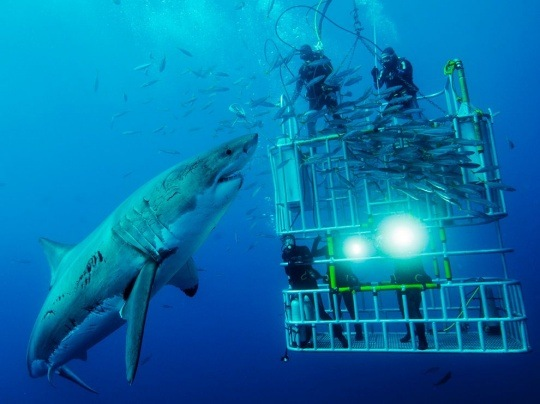 Great White Shark and Divers by David Litchfield