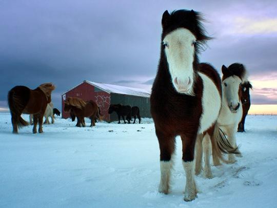 Horses, Iceland by Marketa Kalvachova