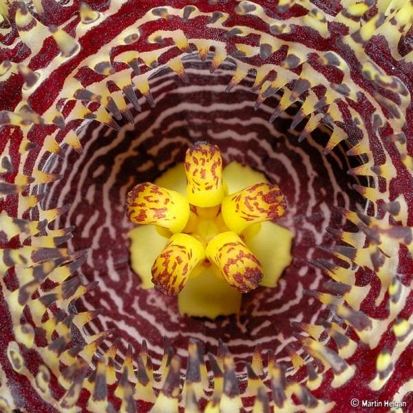 Huernia hystrix flower Macro Photography