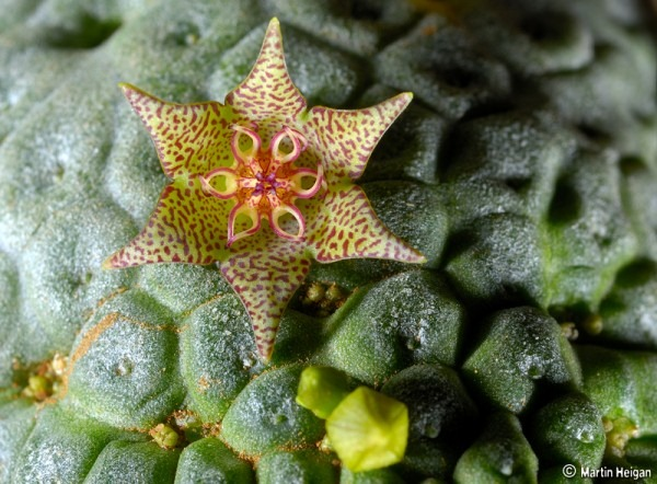 Larryleachia flower Macro Photography