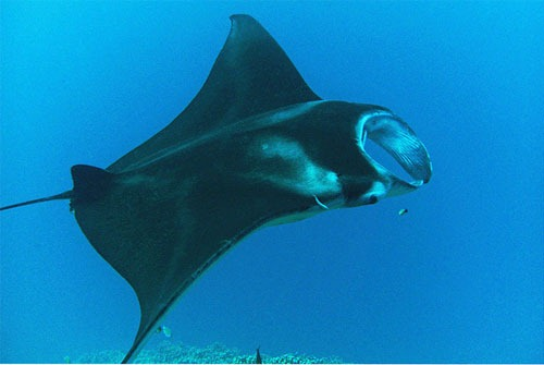 Manta-Ray-27-By-BarryFackler Wonders of Underwater Photography Examples