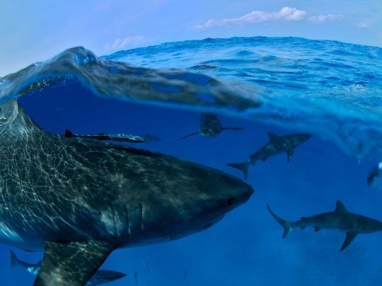 Sharks, Bahamas by Wilfried Niedermayr