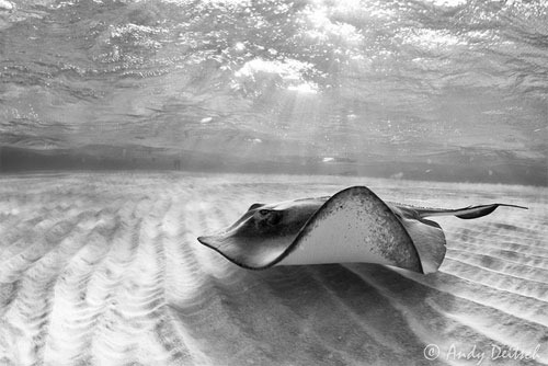 Stringray-By-Andy-Deitsch Wonders of Underwater Photography Examples