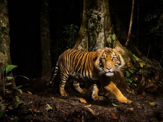 Tiger, Indonesia by Steve Winter