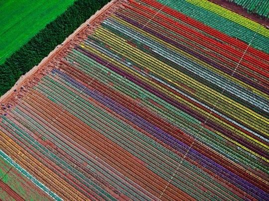 Tulip Farm, Tasmania by Anthony Crehan