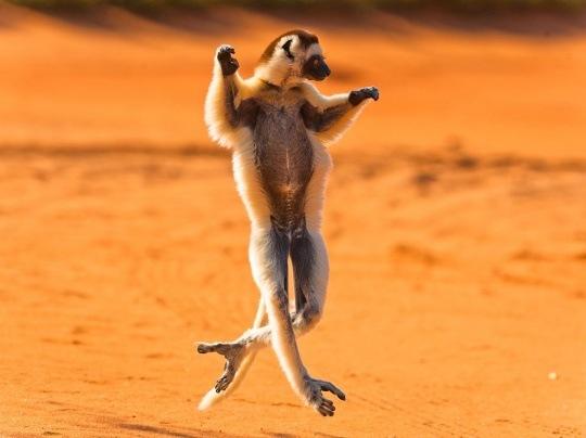 Verreaux's Sifaka, Madagascar by Robyn Gianni