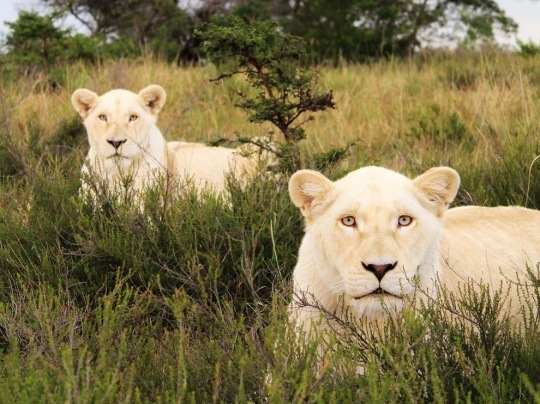 White Lions, South Africa by Dave Elliott