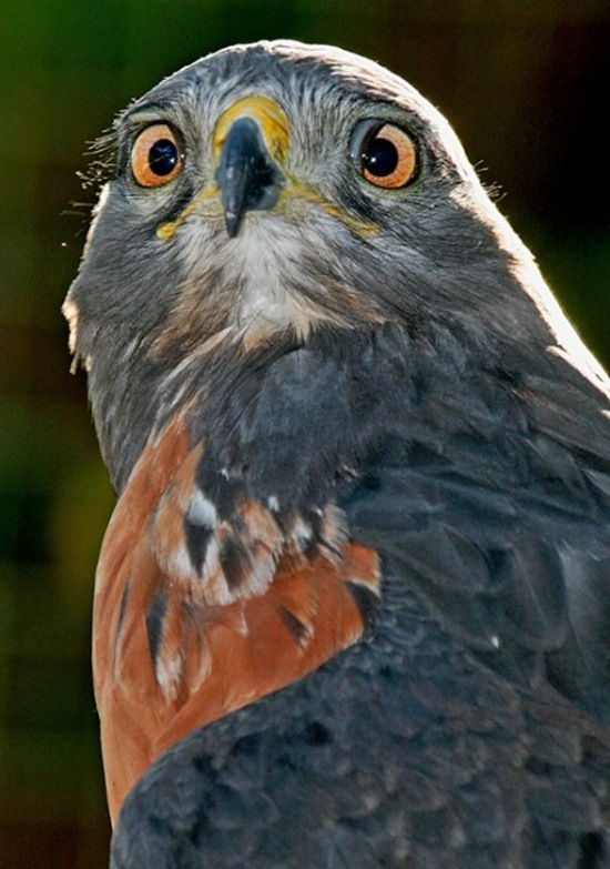 Cross-Eyed Jackal Buzzard
