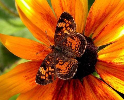 Marc Solar Butterfly
