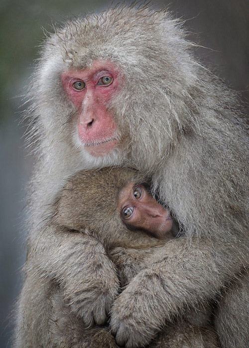 snow monkey nursing baby