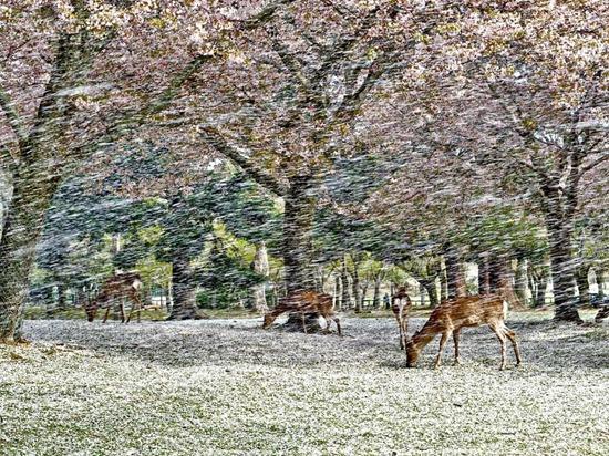Falling Petals, Japan