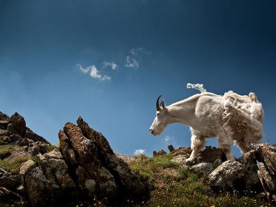 Mountain Goat, Colorado