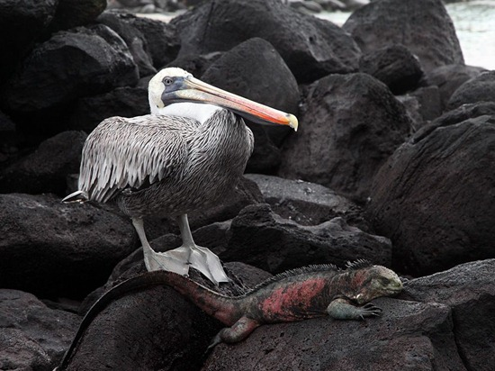 Pelican and Iguana, Galápagos