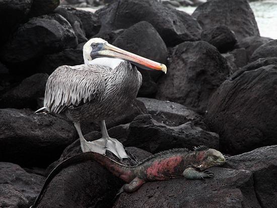 Pelican and Iguana, Galápagos