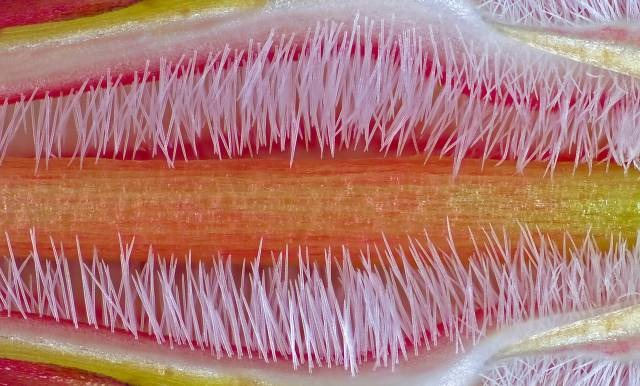 Pistil-of-Adenium-obesum