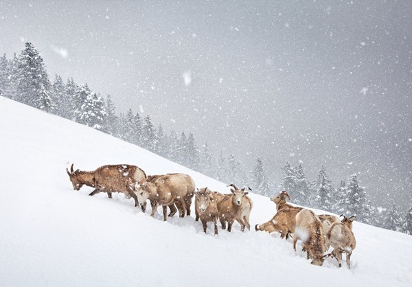 The snow herd