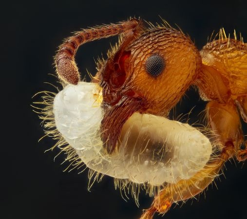 larva-carrying-ant-macro-world-2012