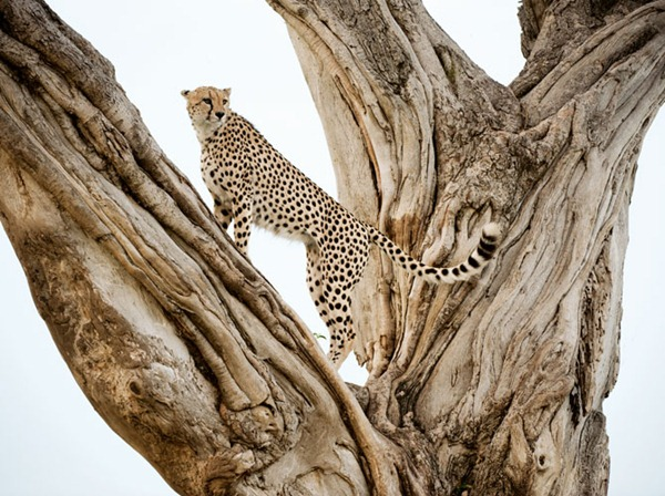 male-cheetah-lookout-pose-kenya