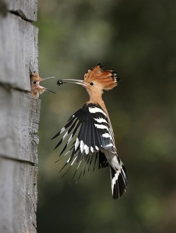 woody-wood-pecker