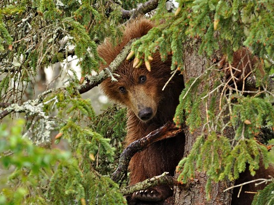bear-yearling-tree