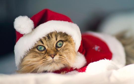 cat-santa-claus-christmas-winter