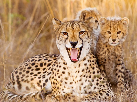 cheetah-mother-cubs