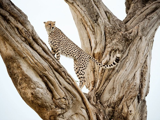cheetah-tree-lanting-photo-of-the-day-natgeo