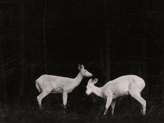 deer-night-shiras
