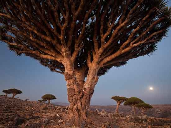 dragons-blood-trees-moffett-photo-of-the-day-natgeo