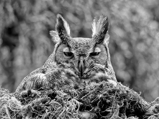 great-horned-owl-florida-photo-of-the-day-natgeo