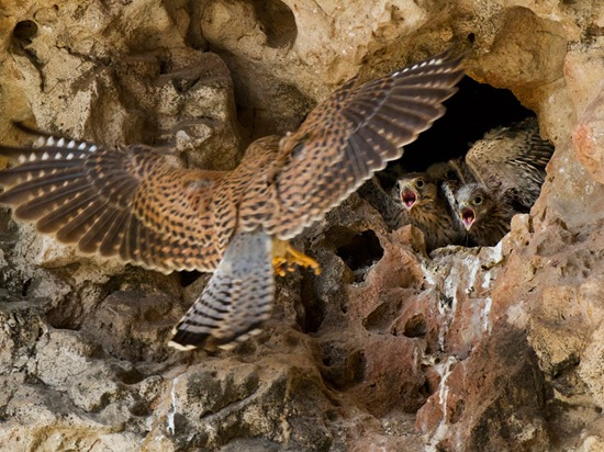 kestrels-socotra-melford-photo-of-the-day-natgeo