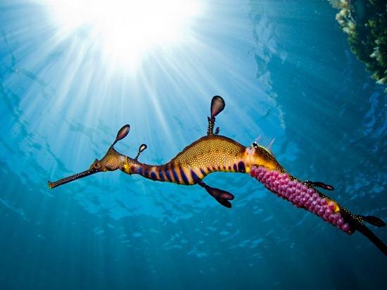 male-weedy-seadragon