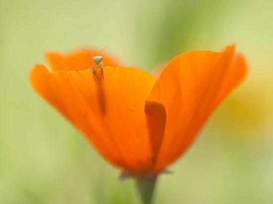 mantis-larva-flower