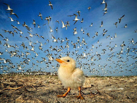 tern-chick-sri-lanka