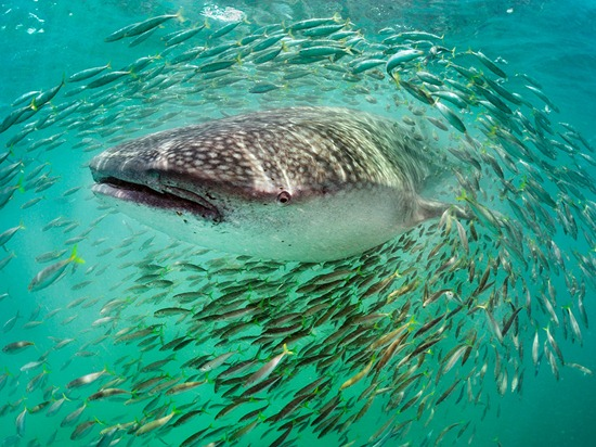 whale-shark-fish-skerry-photo-of-the-day-natgeo