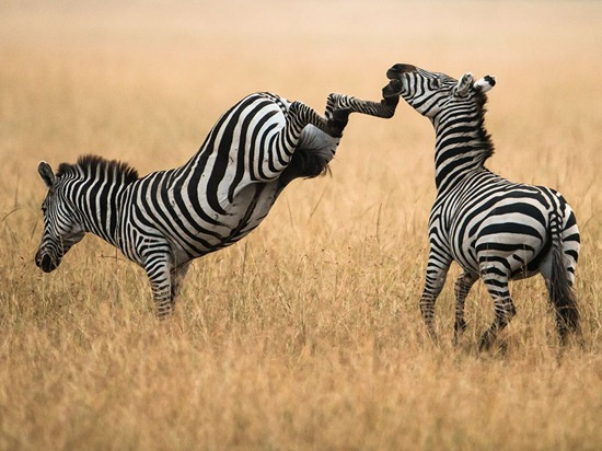 zebras-masai-mara-photo-of-the-day-natgeo