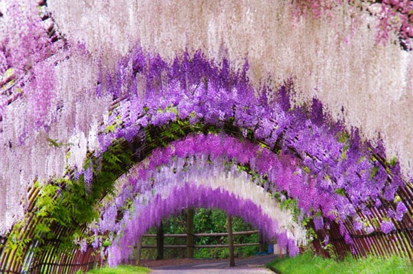 Wisteria-Tunnel-Image-4.jpg